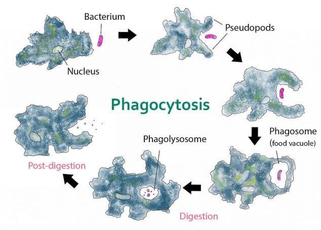 Amoeba_phagocytosis