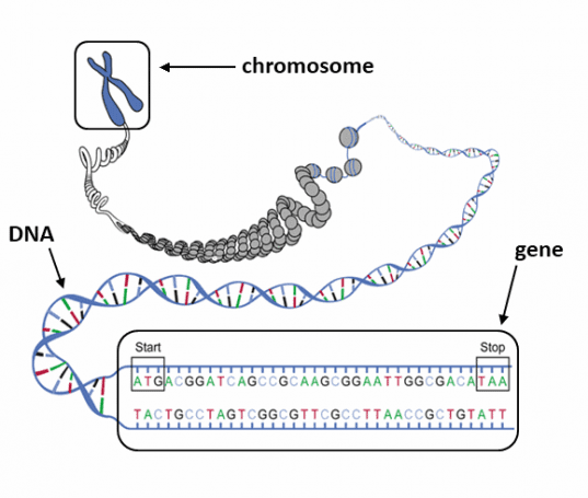 Chromosome_Gene_DNA