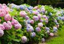 Ortanca (Hydrangea) Çiçeğinin Rengi