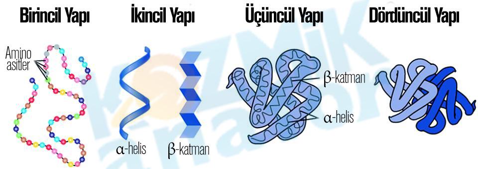 Protein_Yapilari