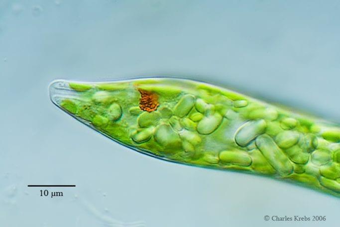 Euglena (öglena) ve kloroplastlı yapısı