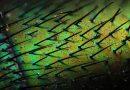 Lucilia Sericata: Sırt Detayı