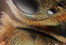 Apoidea: Sırt ve Göz Bölgesi