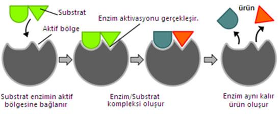 enzim_subastrat_iliskisi