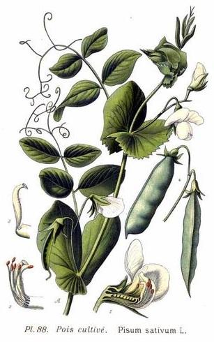 Mendel'in bitki melezleme deneylerini başlattığı bahçe bezelyesi, Pisum Sativum.