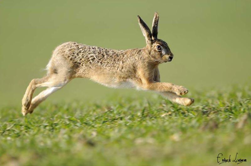 Tavşanlar birçok diğer tür gibi av olmamak için hızlı hareket eder.
