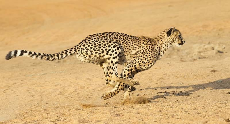 cheetah-running-2