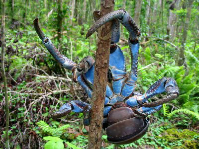 Coconut Crab 3