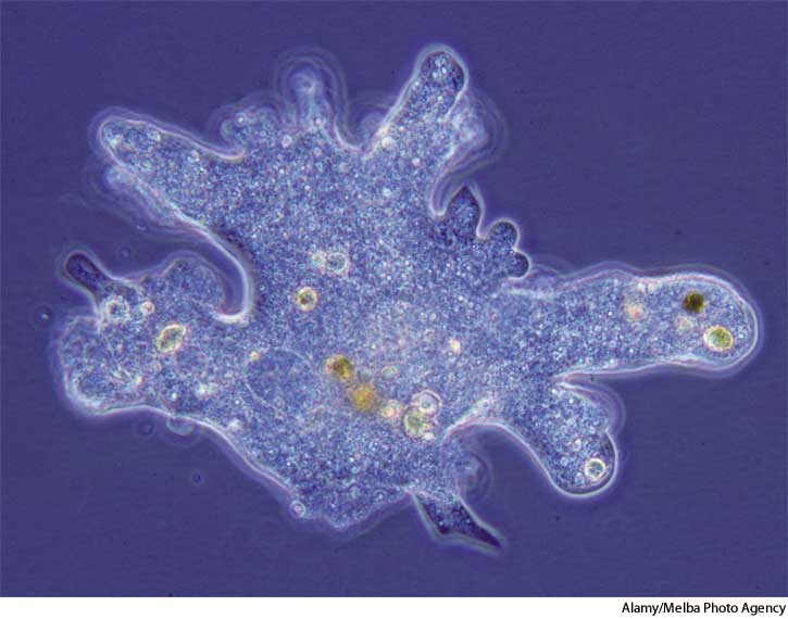 Photo of Amip (Amoeba)