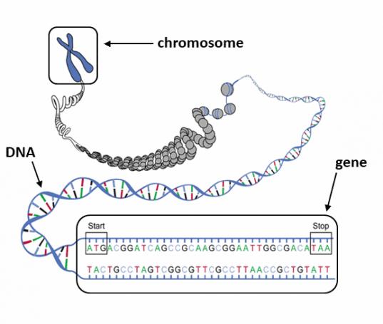 Chromosome_Gene_DNA