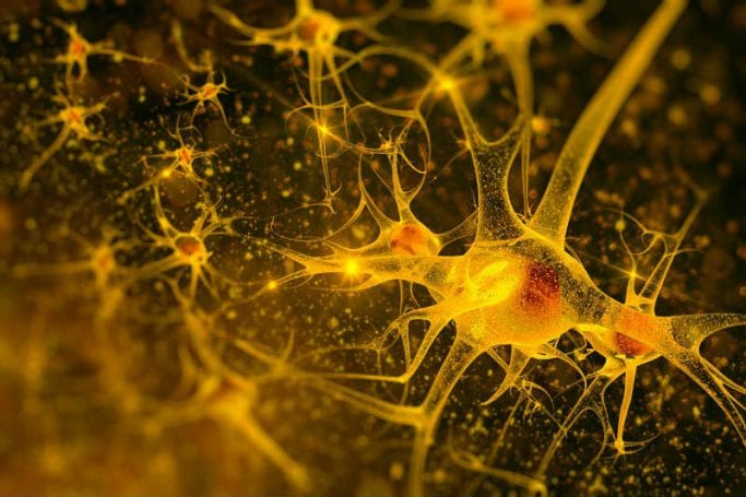 Nöronlar ve sinaptik bağlantı yolakları.