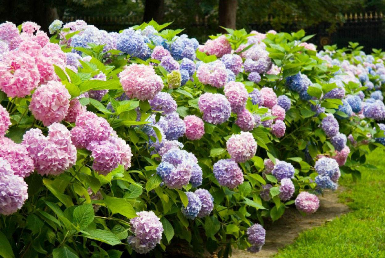 Photo of Ortanca (Hydrangea) Çiçeğinin Rengi
