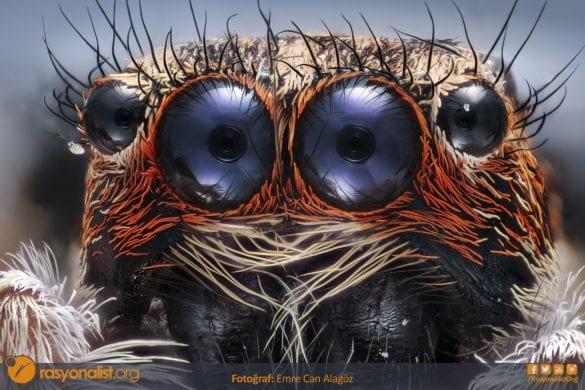 Salticidae yani zıplayan örümcek türünden bu güzelliğin portresini mikroskop altında fotoğrafladım. 4x mikroskop lensi ile ekstra 65mm uzatma tübü ile gerçekleştirdiğim çekimde 130 kareyi odak istifleme tekniği ile birleştirdim. Fotoğraf: Emre Can Alagöz