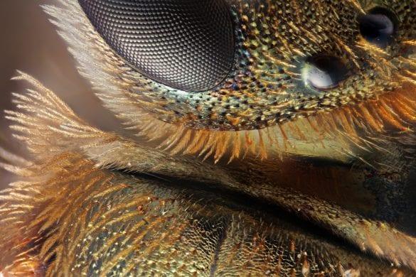 Maalesef türünü öğrenemediğim bir arı türünün sırt ve göz bölgesinden aldığım bu görüntüde 10x lens ve 40mm uzatma tüpü kullandım. 1 bileşik göz ve 2 tane basit gözün ve sırtın olduğu bir kare elde ettim.  Bu görüntüyü elde etmek için 308 kareyi odak istifleme yöntemi ile birleştirdim. Fotoğraf: Emre Can Alagöz