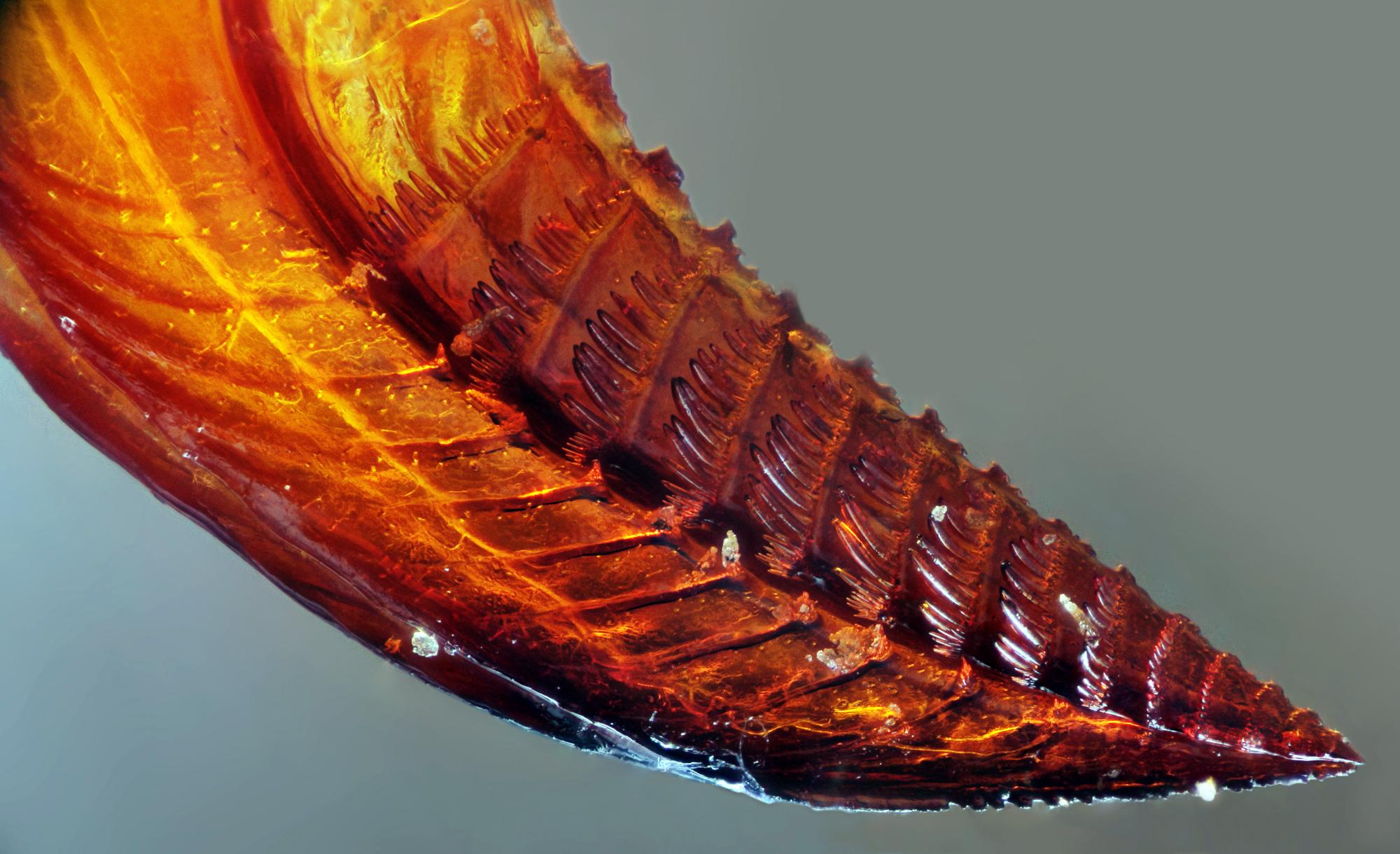 Photo of Apoidea: Ovipositor Detayı