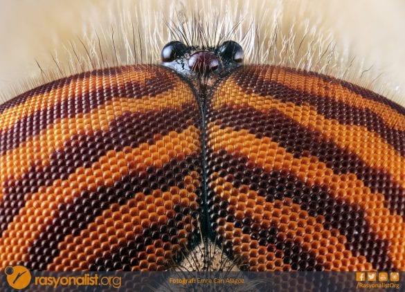 Bu fotoğrafta çok güzel bir göz desenine sahip bir arının yan taraflarda birleşik göz yapısı ile tam ortada yukarıda bulanan toplamda üç adet basit gözlerini görmektesiniz. Bu fotoğraf 4x mikroskop lensi ile 182 farklı odak noktasını birleştirerek elde edildi. Fotoğraf: Emre Can Alagöz