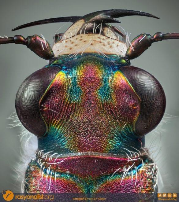 Cicindela türünden olan bu çok renkli, kaplan böceğini toplamda 9 farklı bölgesini ve 510 fotoğrafını çekip odak istifleme yöntemiyle birleştirdim. Bu yöntem ile toplamda 7225x8164 piksel çözünürlüğünde tek bir görüntü elde etmiş oldum. Fotoğraf: Emre Can Alagöz