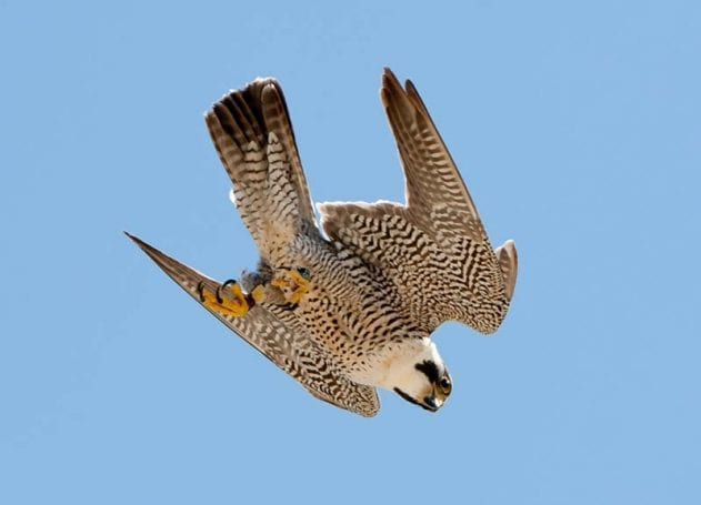Havada aşağıya doğru dalışa geçmiş bir ala doğan (Falco peregrinus).