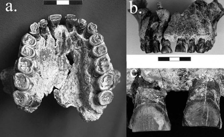 Çalışma, 1,8 milyon yaşındaki bir Homo habilis fosilinin dişleri üzerinde soldan sağa doğru hareket eden çizgileri göstererek sağ el kullanımı ile ilgili fosil kayıtlarında en erken kanıtı sundu. - David Frayer