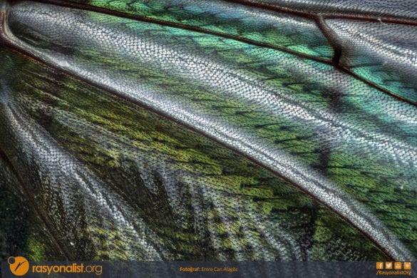 Bazı yörelerde ölüsineği olarak bilinen dışkıların olduğu noktaları seven metalik yeşil renkli bir sineğin kanat bölgesini fotoğrafladım. 4x mikroskop lensi ile 50 farklı bölgesini odaklayıp bilgisayar ortamında bu farklı odak noktalarını tek kare haline getirerek elde ettiğim bu görüntüde ön planda sineğin zar kanat kısmı ve arka plandaki sırt dokusunu görebilirsiniz. Fotoğraf: Emre Can Alagöz