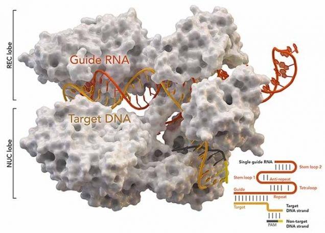 CRISPR kucuk