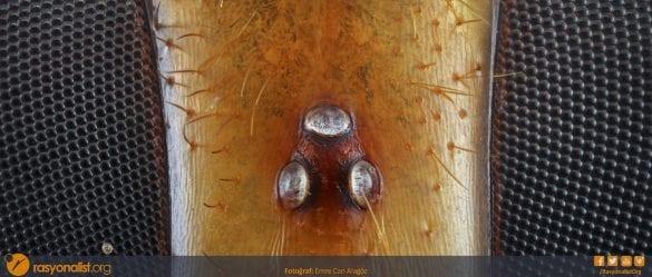 Bir yaban arısının tepeden göz bölgesi, merkezde bulunan üçgen yapı arının basit gözlerini her iki yandaki petek yapısı ise bileşik göz yapısını gösteriyor. soldaki bileşik gözün alt tarafında bir polen duruyor. hemen merkezin üst kısmında yarı şeffaf bir tabakanın altındaki kıvrımlı desenler ise nörosekresyon hücreleri görülüyor. Fotoğraf : Emre Can Alagöz