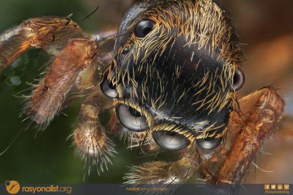 Zıplayan ya da sıçrayan örümcek olarak bilinen Salticidae familyasından bu örümceği mikroskop ile 4x Lens ve ekstra 65mm uzatma tübü kullanarak fotoğrafladım 110 farklı odakta fotoğrafı bilgisayar ortamında birleştirerek oluşturduğum bu görüntüde örümceğin önde büyüklüğüyle göze çarpan dört, ortada çok ufak iki ve en arkada da iki tane olmak üzere sekiz gözünüde görebilirsiniz. Fotoğraf: Emre Can Alagöz