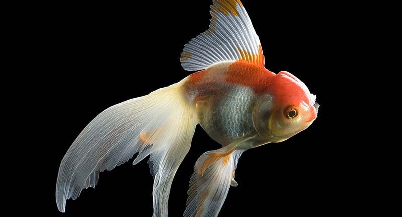 Photo of Japon Balıkları Akvaryumda Yaşayabilmek İçin Alkol Üretiyor