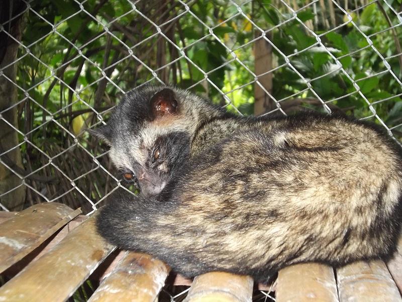 kopi luwak kedisi Çin'deki Yarasalar Yeni Bir SARS Virüsü Oluşturabilirler!