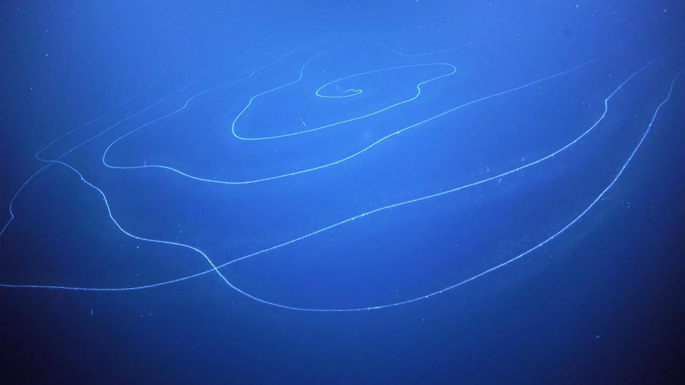 Photo of Dünyanın En Büyük Canlısı: Milyonlarca Koloniden Oluşan Gizemli Deniz Canlısı