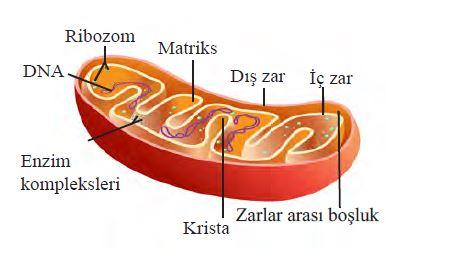 mitokondri organeli cift katli zar sistemi